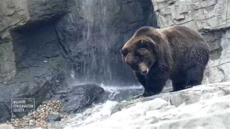 Central Park Zoo Brown Bears - YouTube