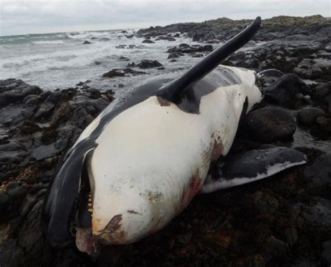 UK population of killer whales could become extinct as