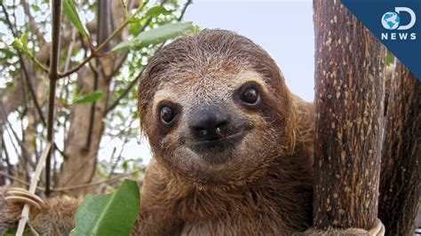 Sloths Are A Walking Ecosystem! - YouTube