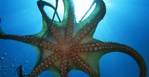 The Biomimicry Manual: What Can the Octopus Teach Us About